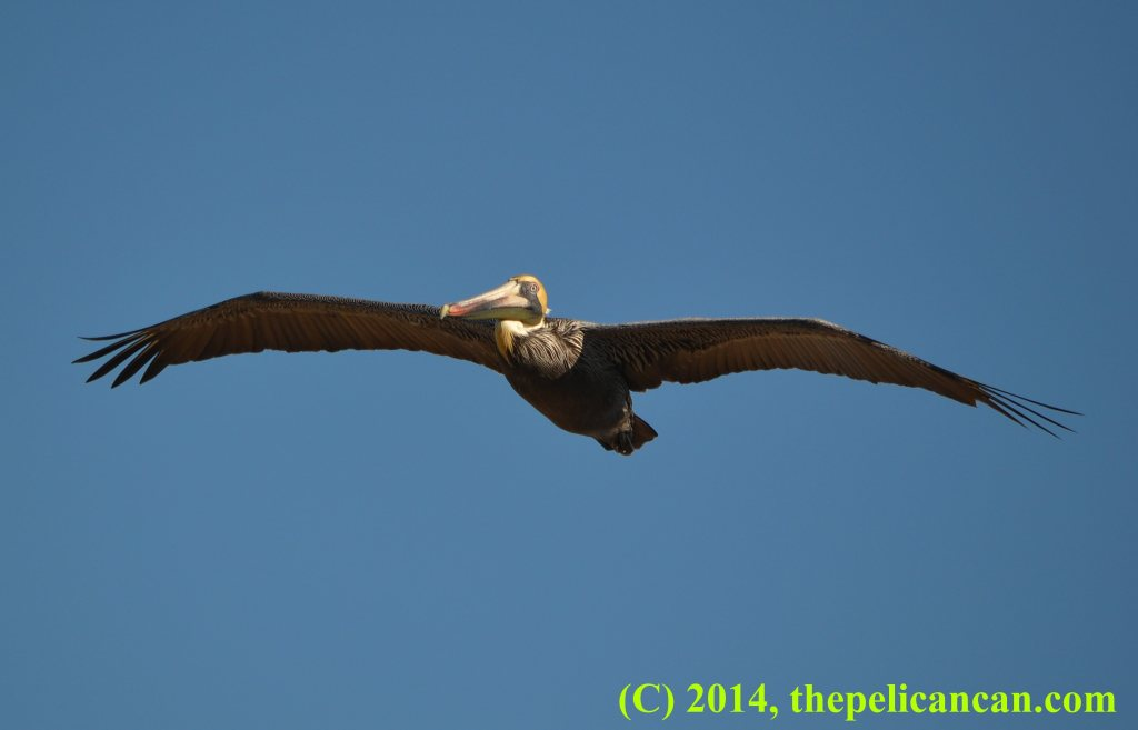 Brown pelican flying (Pelecanus occidentalis) over the Atlantic Ocean at Canaveral National Seashore