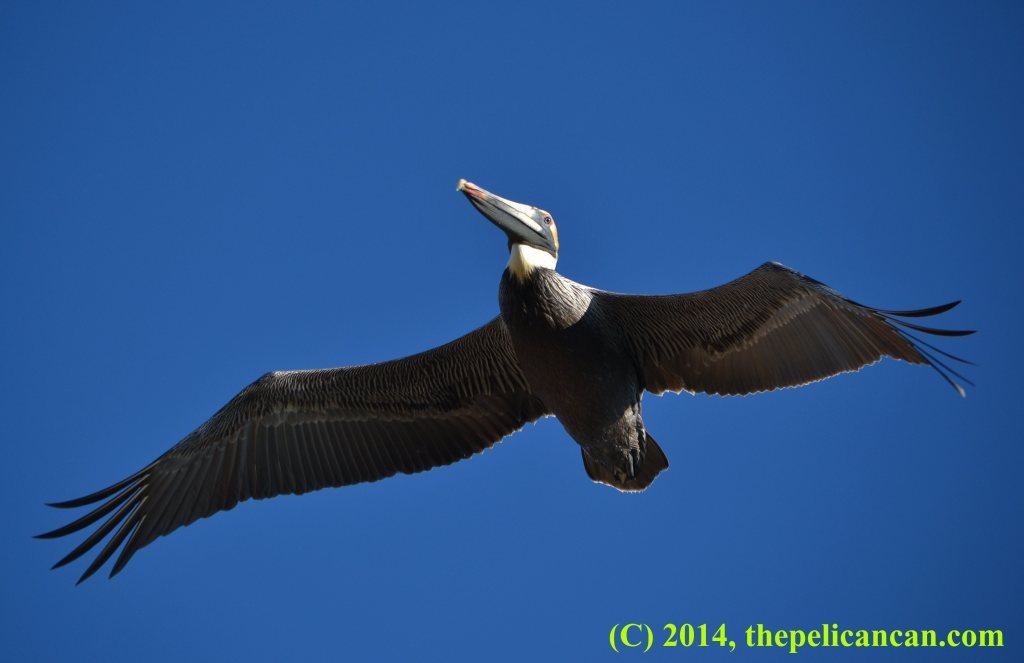 Brown pelican (Pelecanus occidentalis) flying over the Atlantic Ocean at Canaveral National Seashore