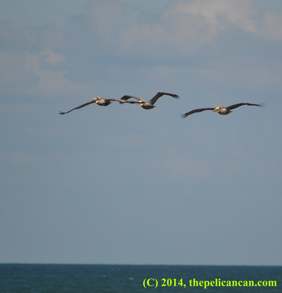 Three brown pelicans (Pelecanus occidentalis) flying over the Atlantic Ocean at Canaveral National Seashore