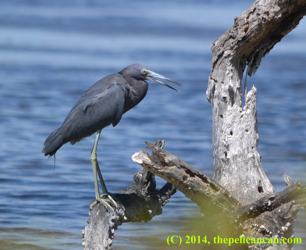 Little blue heron (Egretta caerulea) perches on a dead tree at the Merritt Island National Wildlife Refuge in Florida