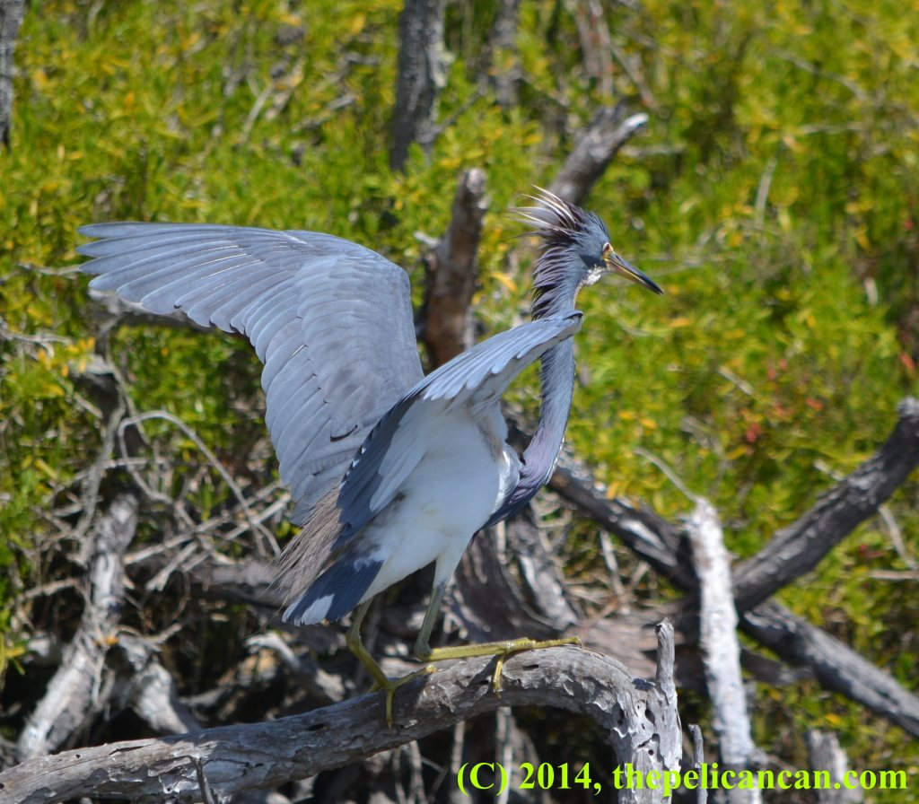 Tricolored heron (Egretta tricolor) lands on a tree at the Merritt Island National Wildlife Refuge in Florida