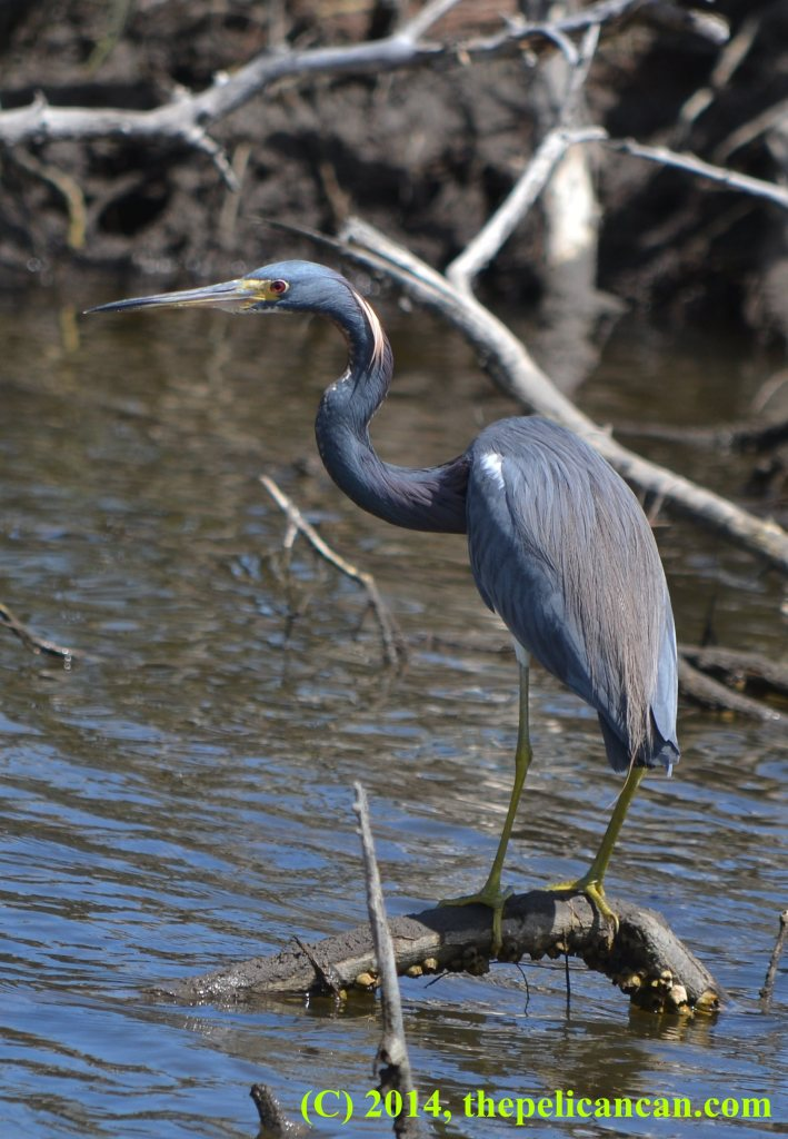 Tricolored heron (Egretta tricolor) perches on a branch at the Merritt Island National Wildlife Refuge in Florida