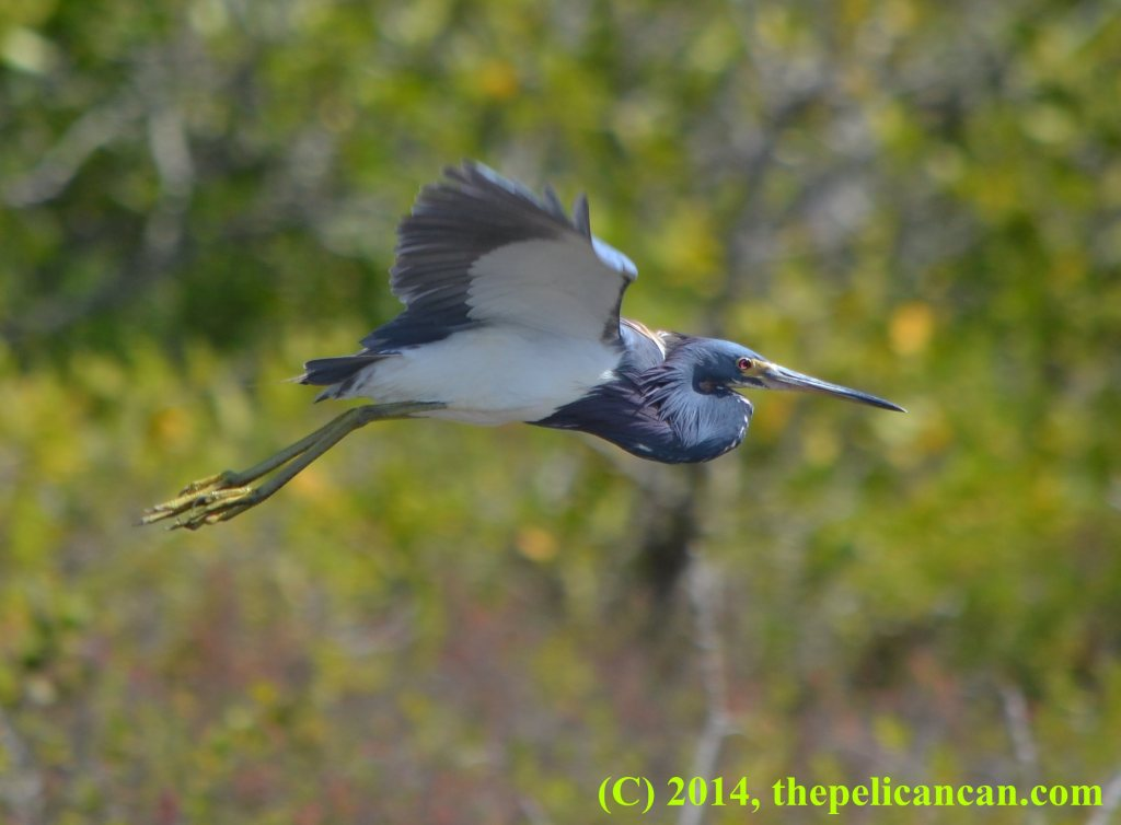 Tricolored heron (Egretta tricolor) in flight at the Merritt Island National Wildlife Refuge in Florida