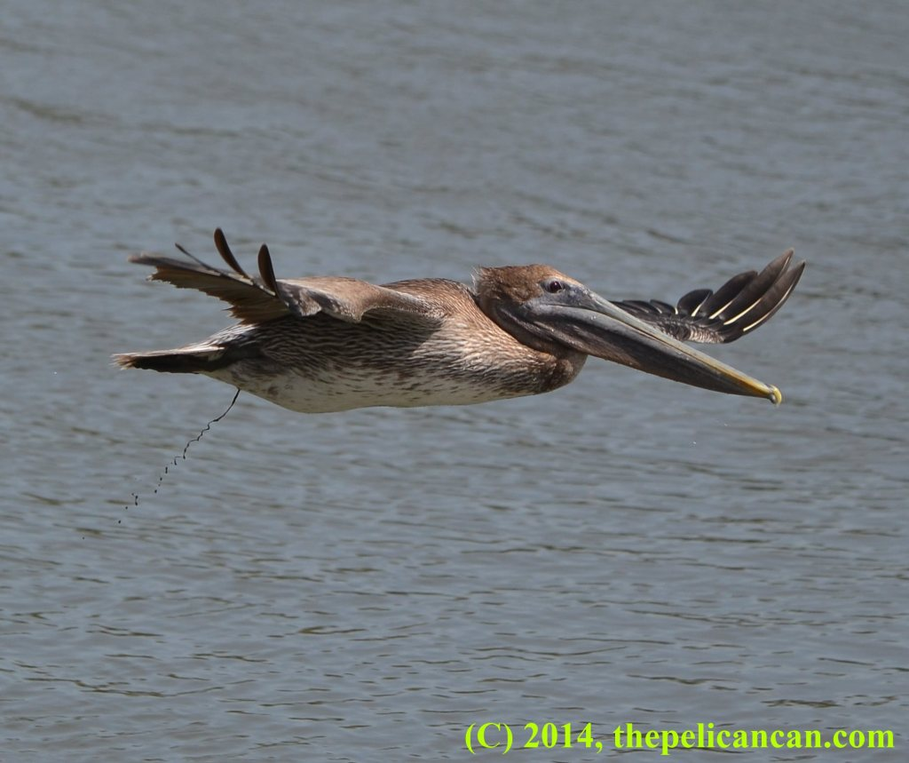 Juvenile brown pelican (Pelecanus occidentalis) poops while flying above water at the Merritt Island National Wildlife Refuge in Florida