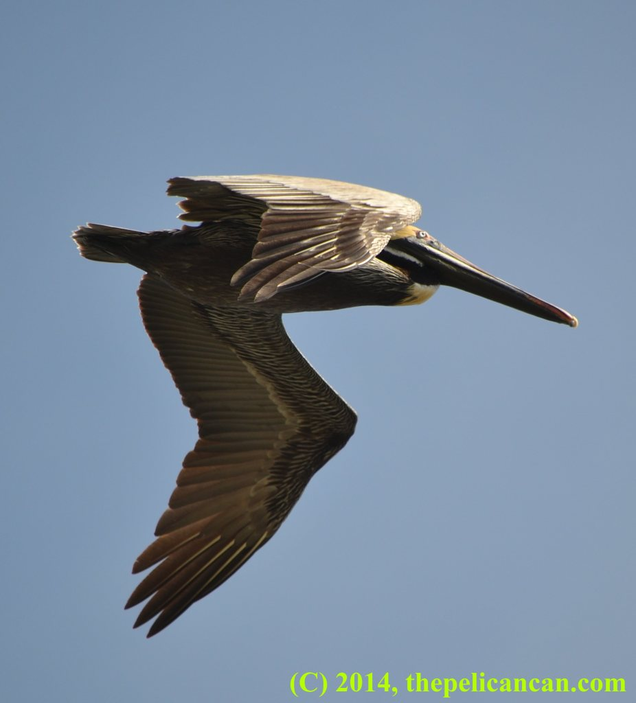 Brown pelican (Pelecanus occidentalis) flies above water at the Merritt Island National Wildlife Refuge in Florida