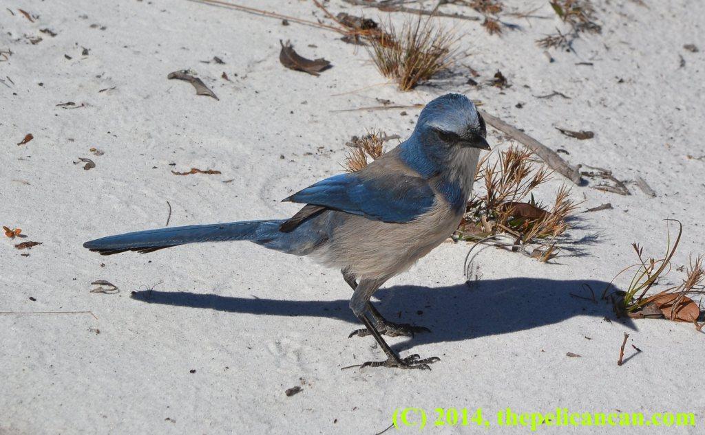 Florida scrub-jay at Lyonia Preserve in Florida