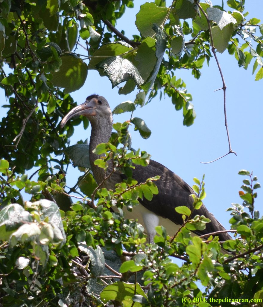Juvenile American white ibis (Eudocimus albus) perched in a tree at the UT Southwestern rookery in Dallas