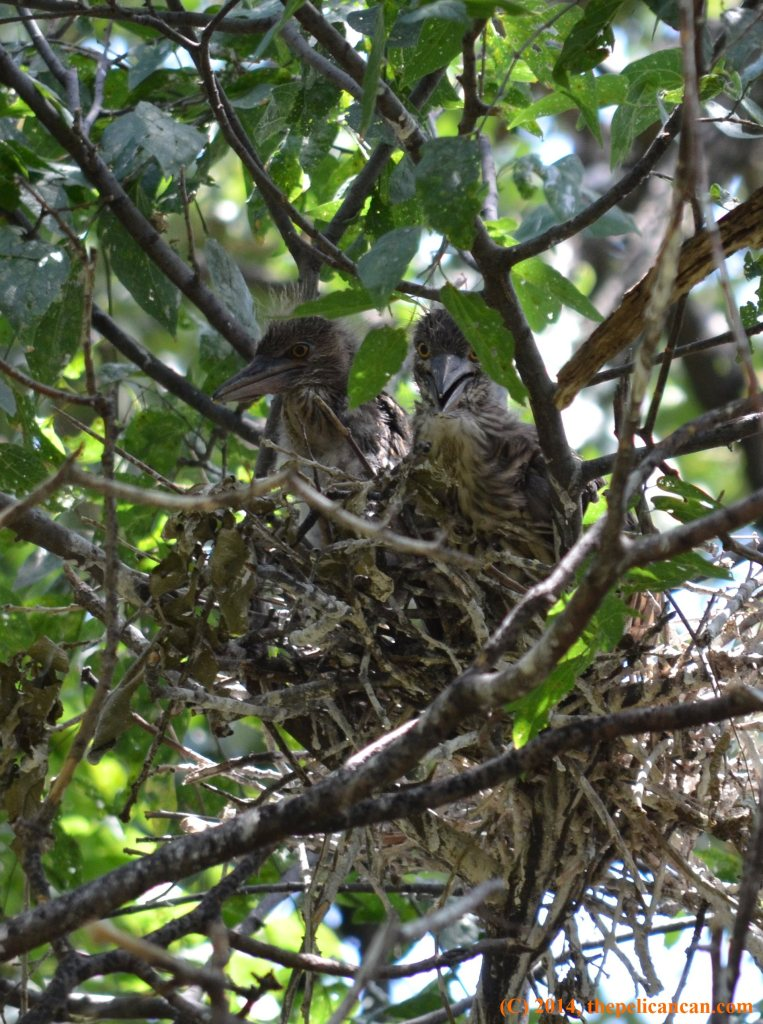 Two baby black-crowned night herons (Nycticorax nycticorax) sit in a nest at the UT Southwestern rookery in Dallas