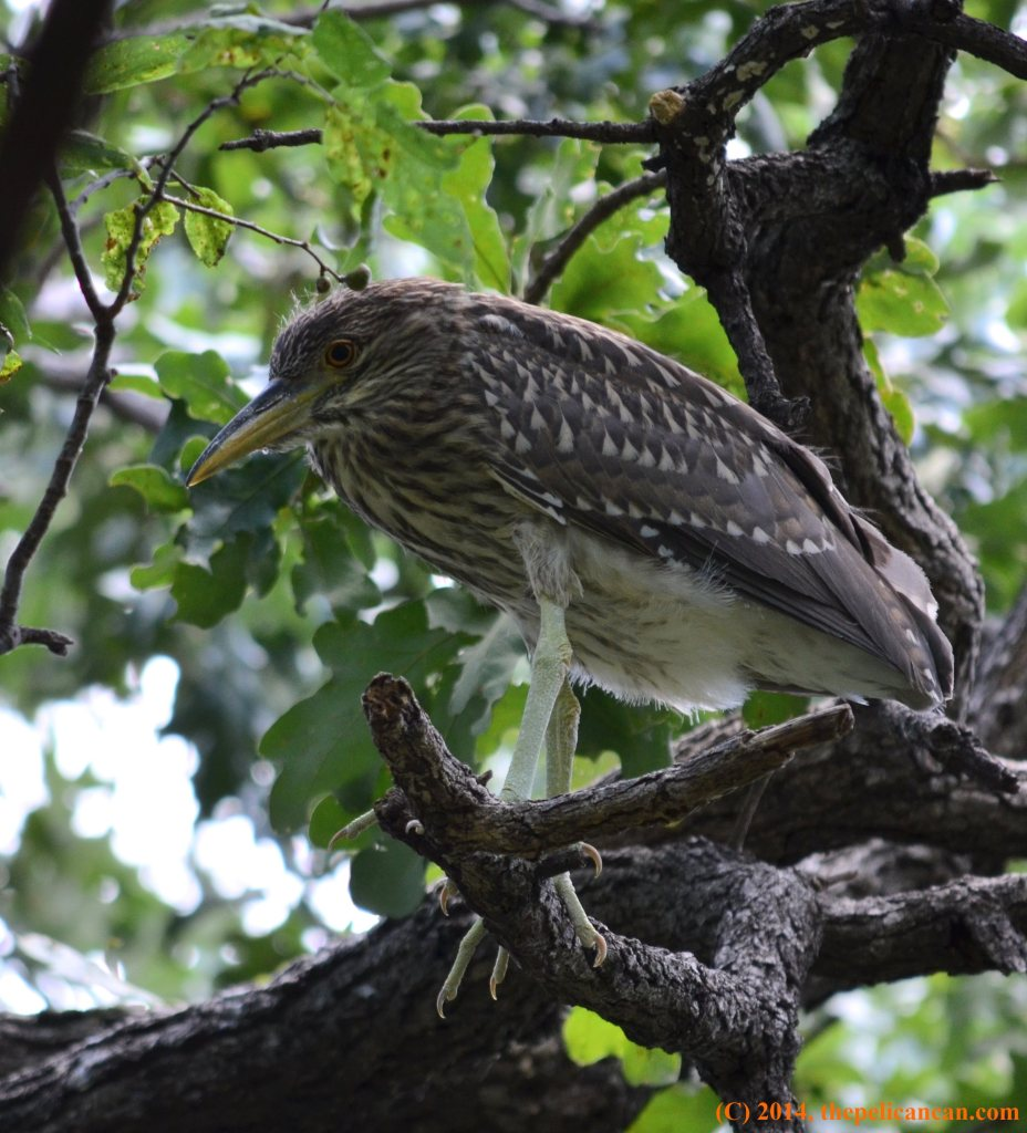 Juvenile black-crowned night heron (Nycticorax nycticorax) stands in a tree at the UT Southwestern rookery in Dallas