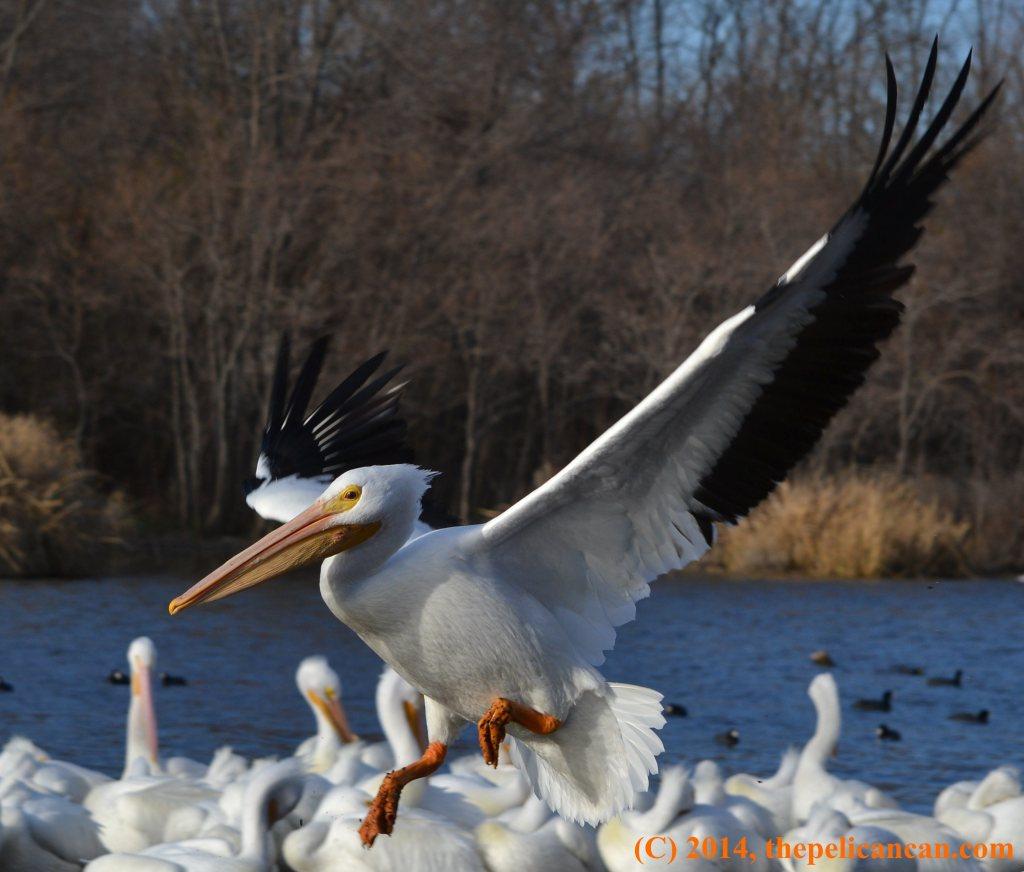 American white pelican (Pelecanus erythrorhynchos) descending to land at White Rock Lake in Dallas, TX