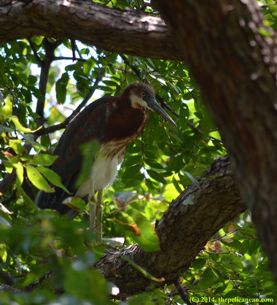 Juvenile tricolored heron (Egretta tricolor) stands in a tree at the UT Southwestern rookery in Dallas