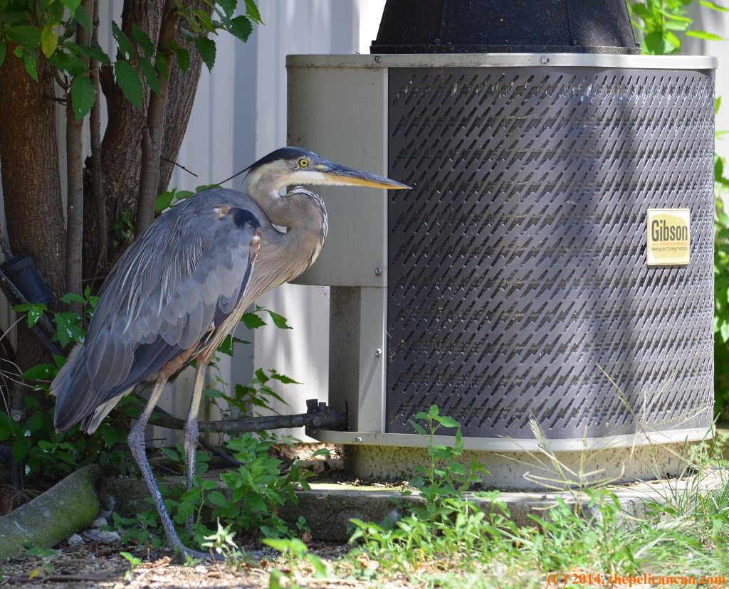 Great blue heron (Ardea herodias) lounges next to an air conditioning unit at Rogers Wildlife Rehabilitation Center south of Dallas