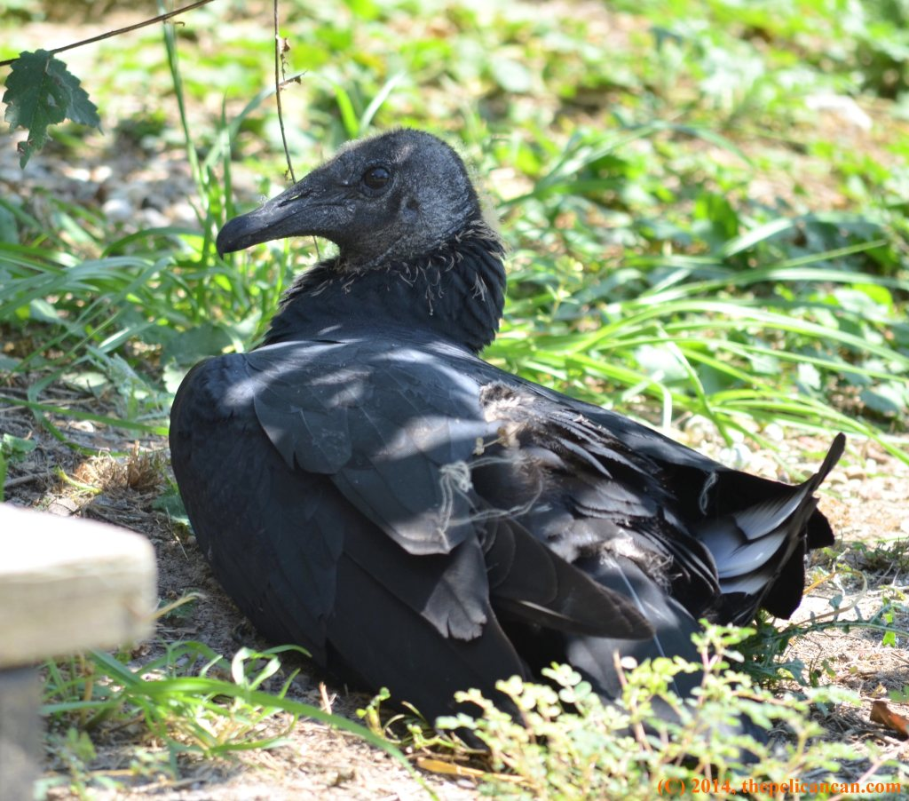 Juvenile black vulture (Coragyps atratus) lounges in the grass at Rogers Wildlife Rehabilitation Center south of Dallas