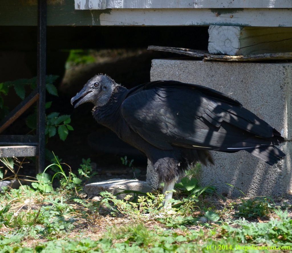 Juvenile black vulture (Coragyps atratus) stands in shade at Rogers Wildlife Rehabilitation Center, south of Dallas