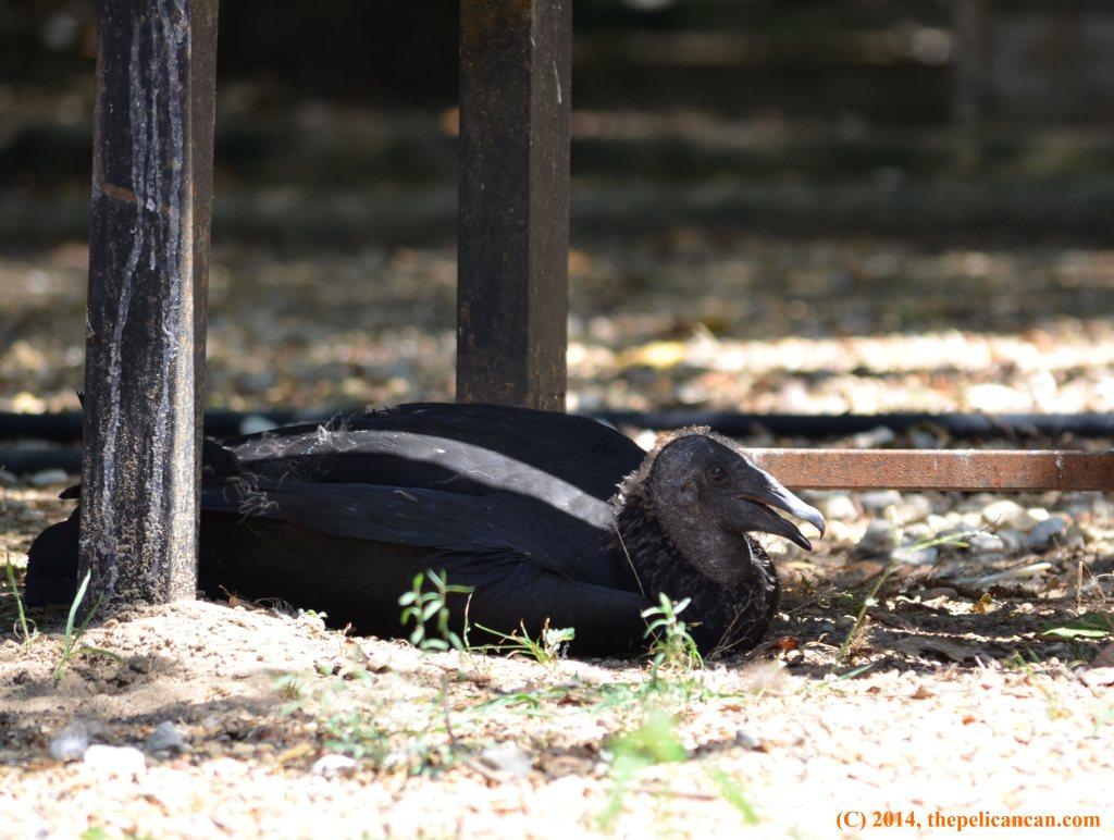 Juvenile black vulture (Coragyps atratus) lies in the shade at Rogers Wildlife Rehabilitation Center, south of Dallas
