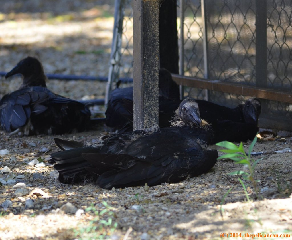 Four juvenile black vulture (Coragyps atratus) lies in the shade at Rogers Wildlife Rehabilitation Center, south of Dallas