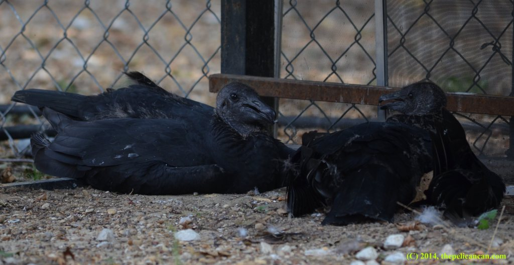 Two black vultures lying on the ground at Rogers Wildlife Rehabilitation Center, south of Dallas