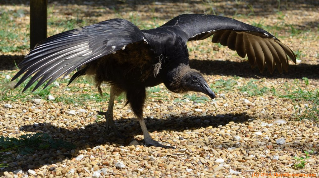 Juvenile black vulture (Coragyps atratus) standing at Rogers Wildlife Rehabilitation Center, south of Dallas