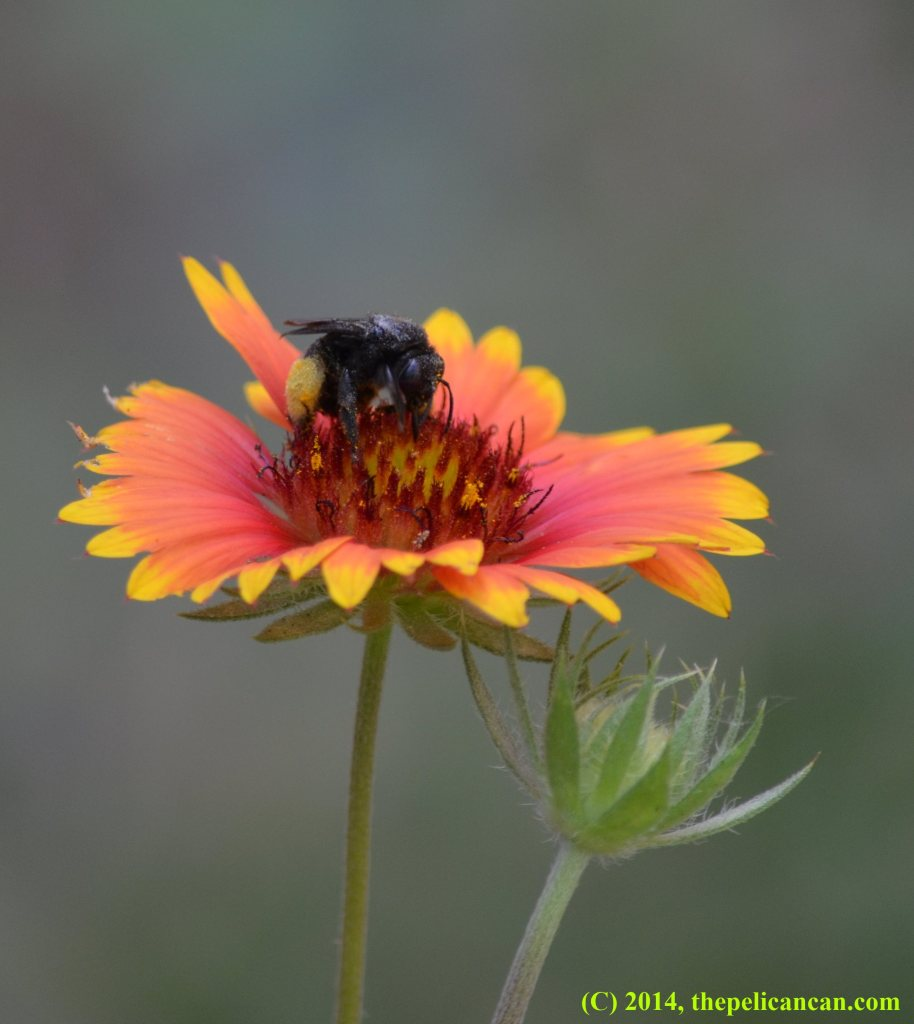Black bee on a gaillardia flower in Dallas