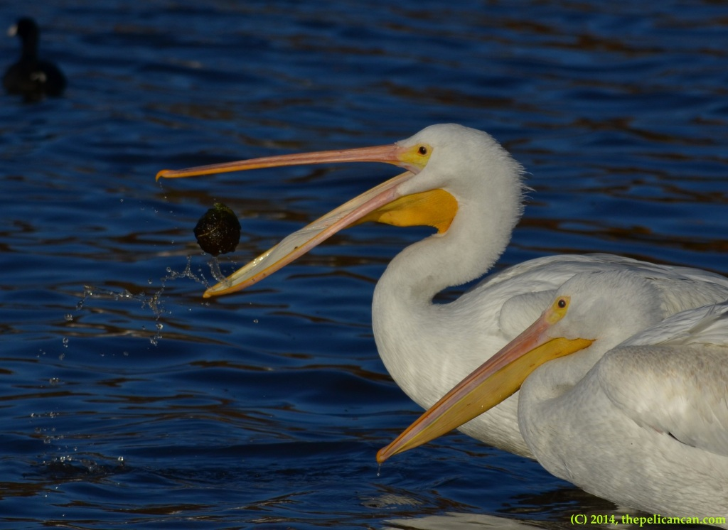 American white pelican (Pelecanus erythrorhynchos) tosses a ball in its beak in play at White Rock Lake in Dallas, TX