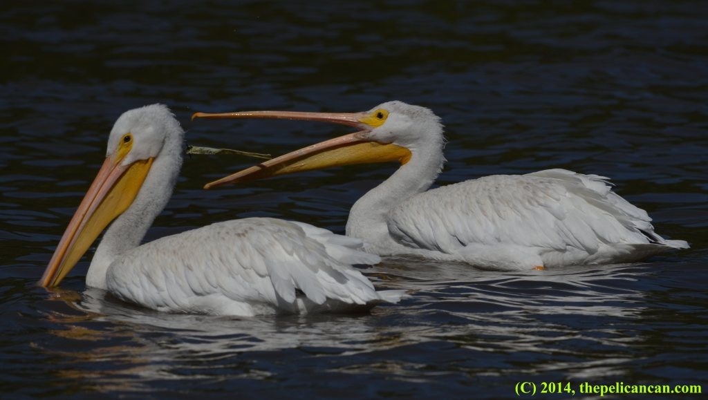 Two American white peliacns (Pelecanus erythrorhynchos), one of which is catching a tossed piece of trash in its beak while swimming at White Rock Lake in Dallas, TX