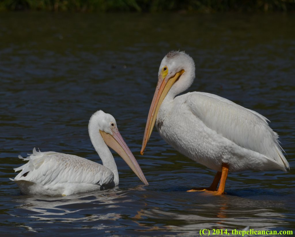 Two American white pelicans (Pelecanus erythrorhynchos) at White Rock Lake in Dallas, TX