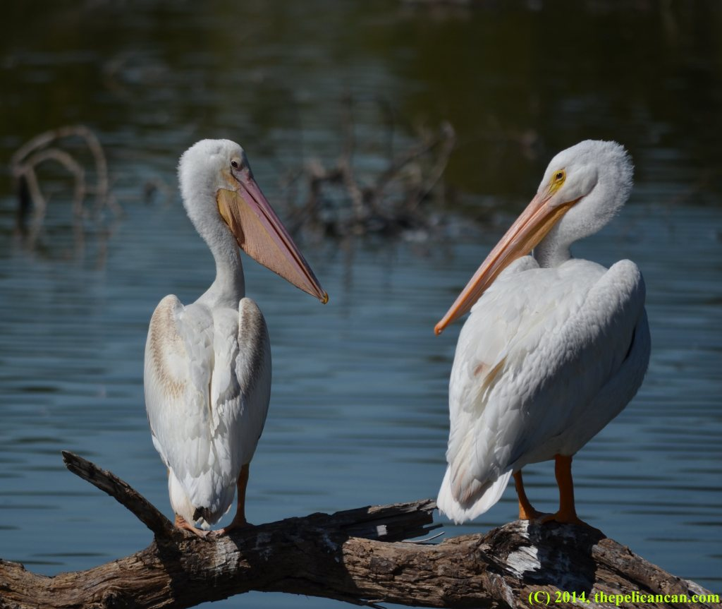 Two American white pelicans (Pelecanus erythrorhynchos) loaf on a log at White Rock Lake in Dallas, TX