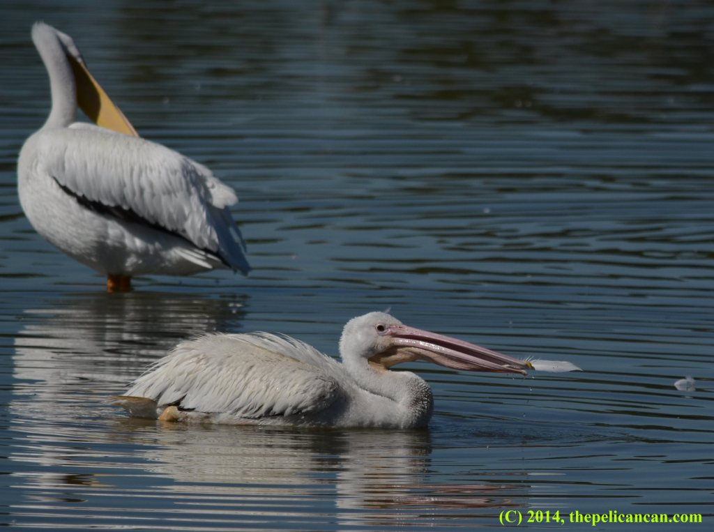 An American white pelican (Pelecanus erythrorhynchos) plays with a feather at White Rock Lake in Dallas, TX
