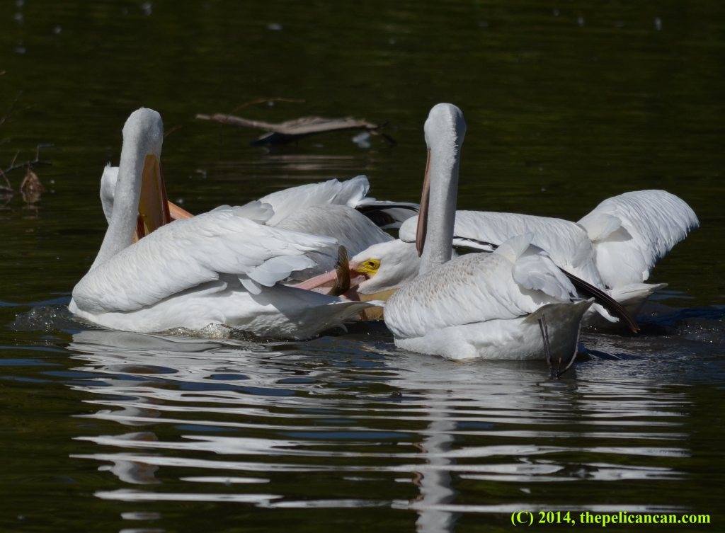 Four American white pelicans (Pelecanus erythrorhynchos) hunting for fish at White Rock Lake in Dallas, TX