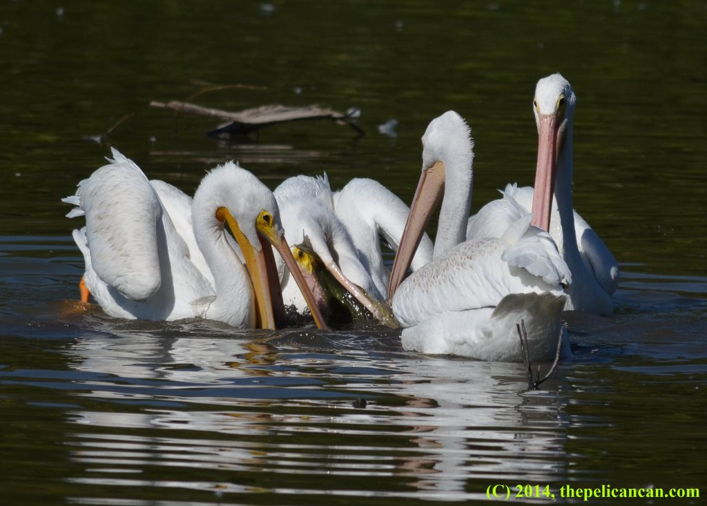 Four American while pelicans (Pelecanus erythrorhynchos) hunt for fish at White Rock Lake in Dallas, TX