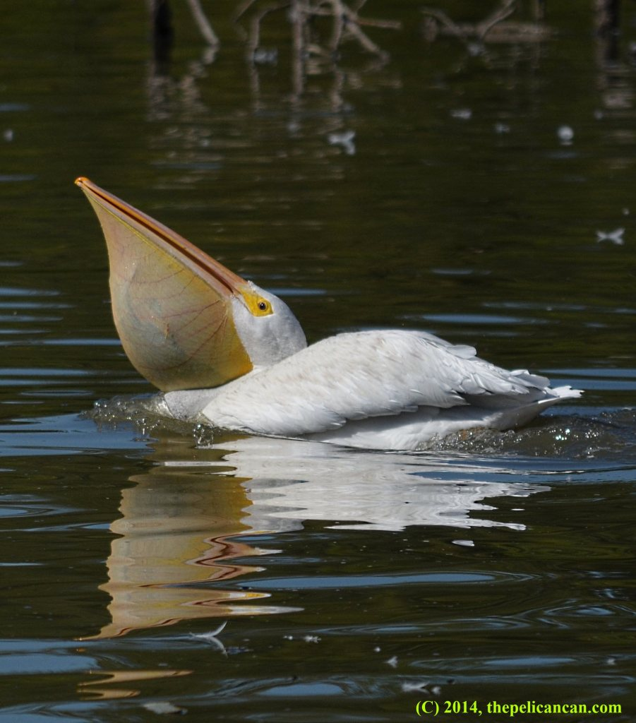 American white pelican (Pelecanus erythrorhynchos) with a fish in her pouch at White Rock Lake in Dallas, TX