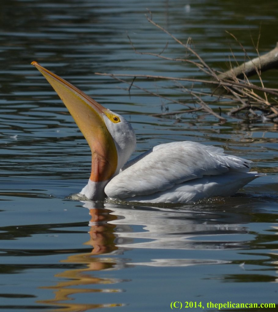 American white pelican swims with a fish in its pouch at White Rock Lake in Dallas, TX