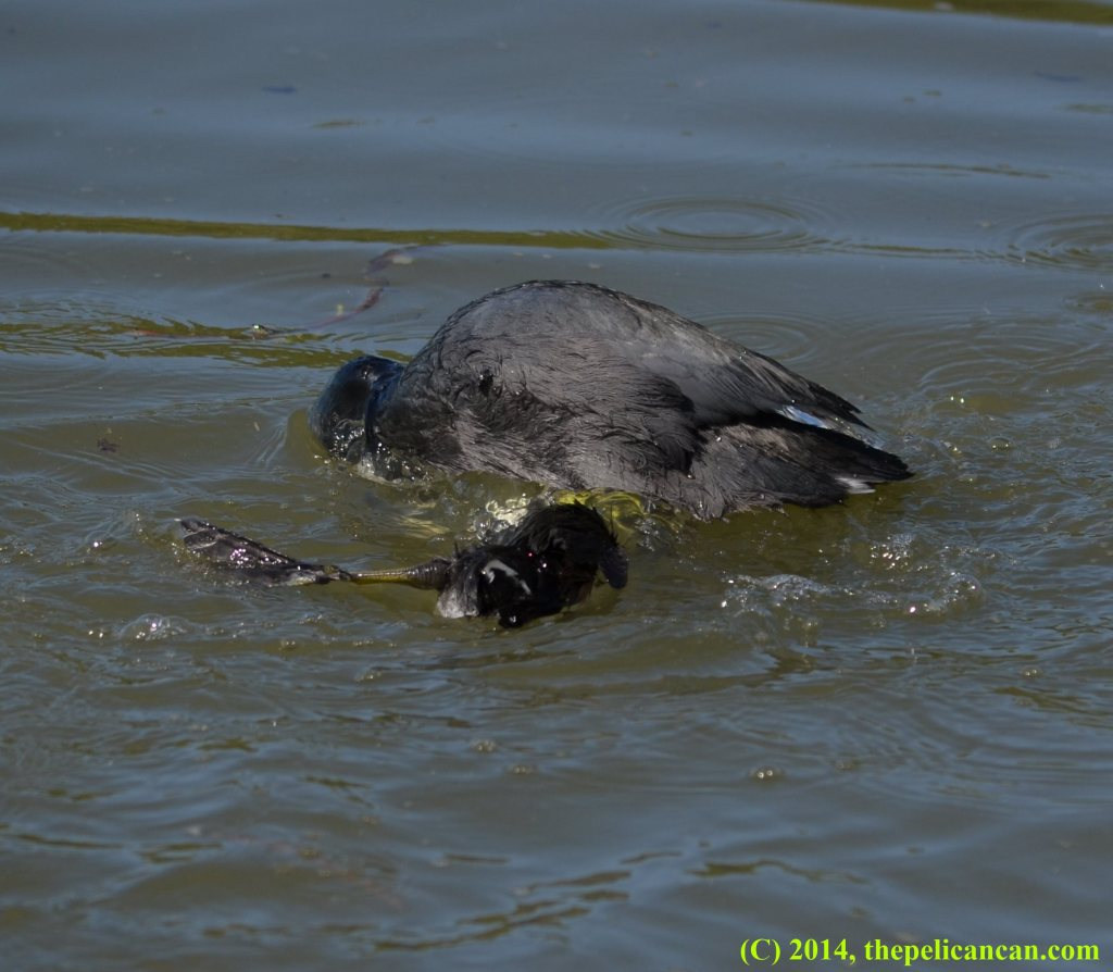American coot (Fulica americana) holding another coot underwater at White Rock Lake in Dallas, TX