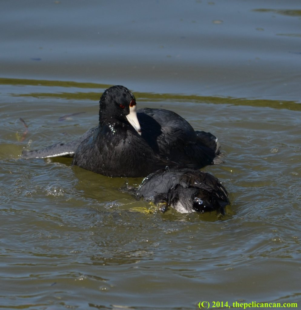 American coot (Fulica americana) tries to drown another coot at White Rock Lake in Dallas, TX