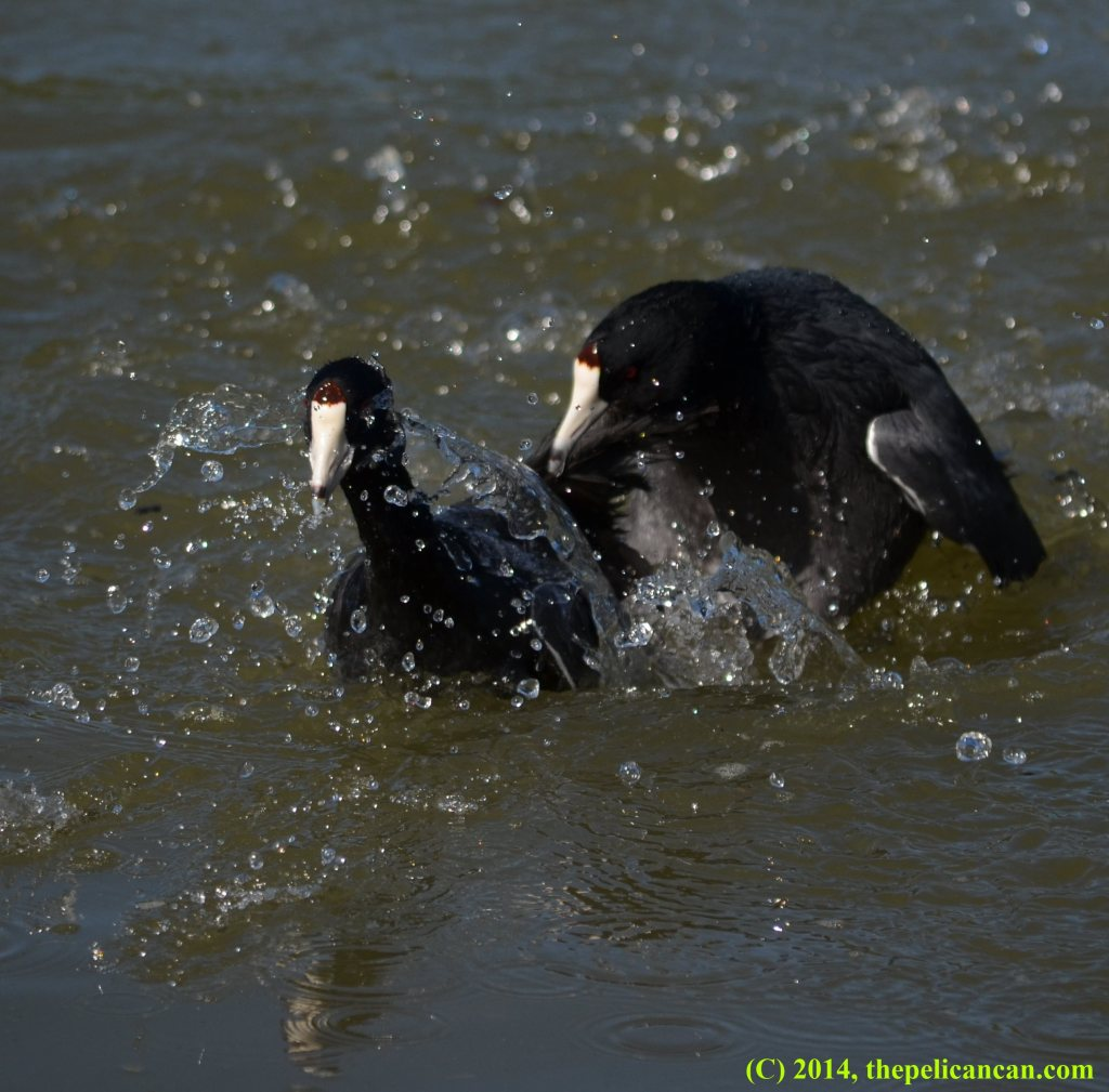 An American coot (Fulica americana) tries to drown another coot at White Rock Lake in Dallas, TX