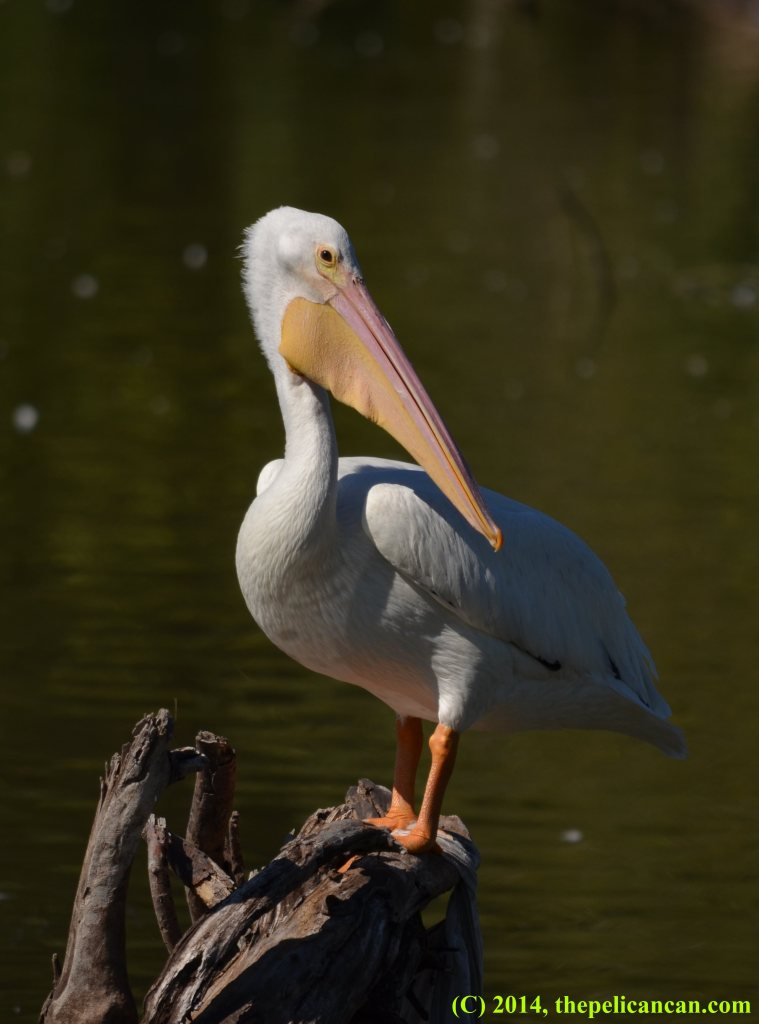 American white pelican (Pelecanus erythrorhynchos) stands on a log at White Rock Lake in Dallas, TX