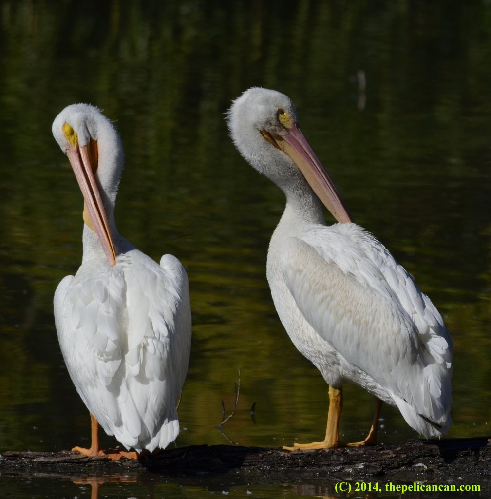 Two American white pelicans (Pelecanus erythrorhynchos) preen while standing on a log at White Rock Lake in Dallas, TX