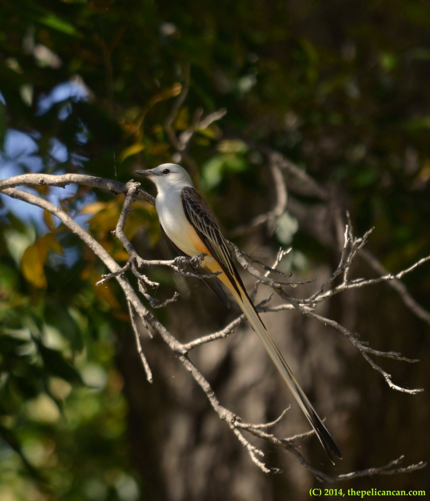 Scissor-tailed flycatcher (Tyrannus forficatus) in a tree at White Rock Lake in Dallas, TX