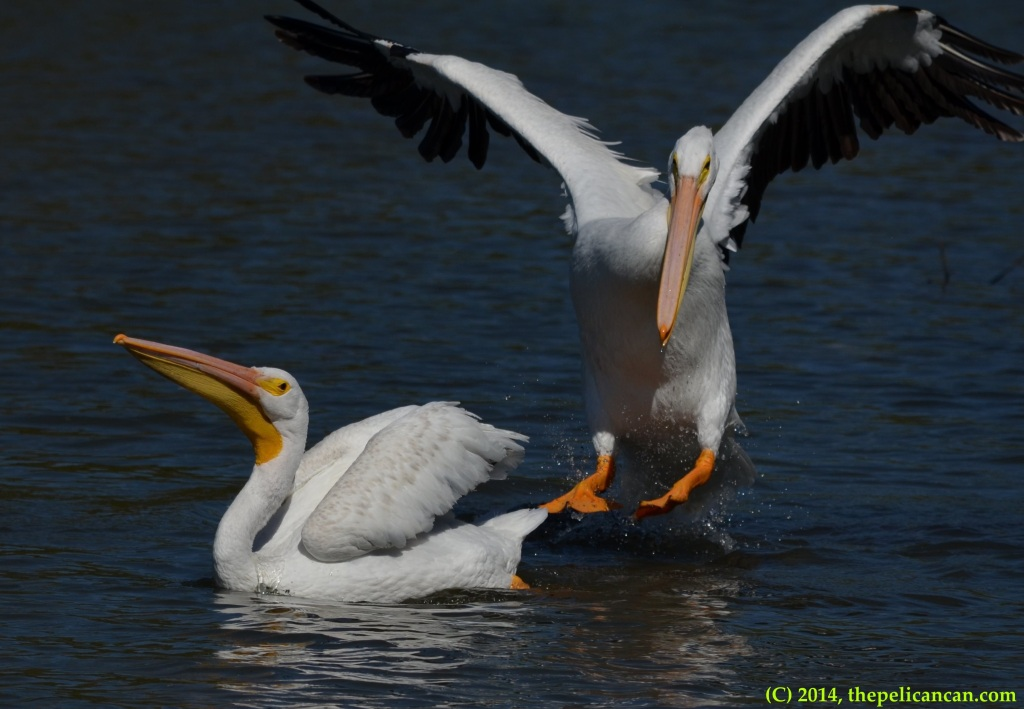 American white pelican (Pelecanus erythrorhynchos) leaps onto a log at White Rock Lake in Dallas, TX