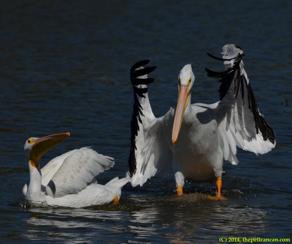 American white pelican (Pelecanus erythrorhynchos) flaps her wings after jumping onto a log at White Rock Lake in Dallas, TX