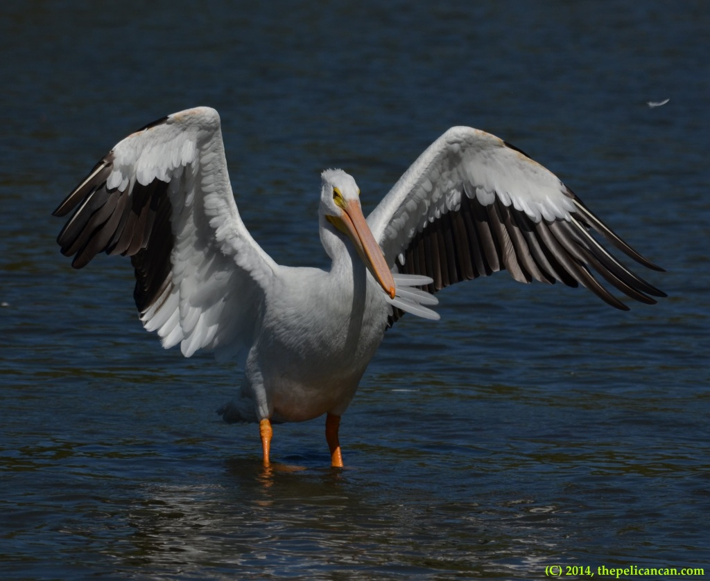 American white pelican (Pelecanus erythrorhynchos) beats her wings after jumping on a log at White Rock Lake in Dallas, TX