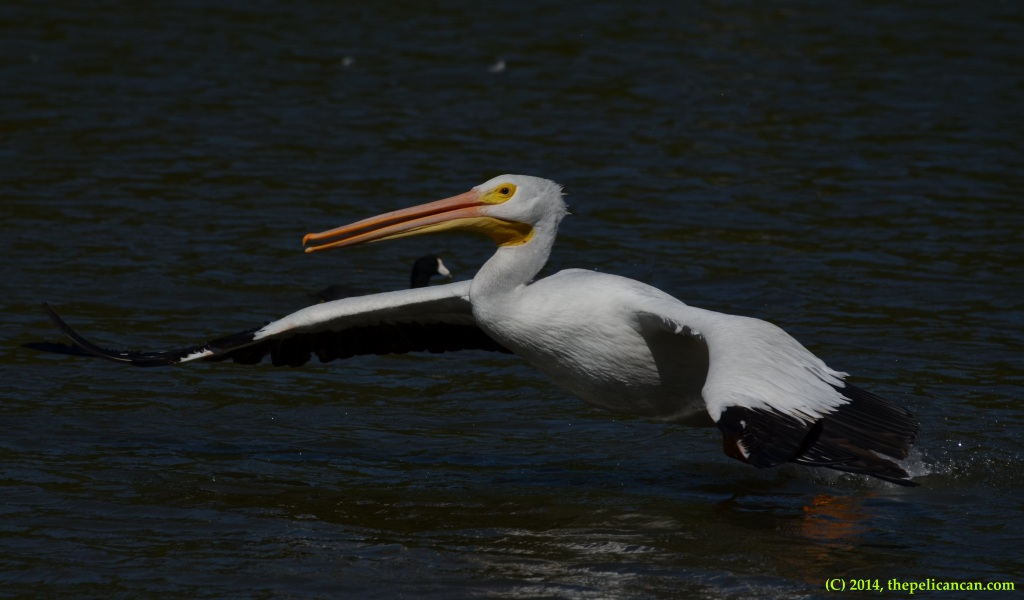 American white pelican (Pelecanus erythrorhynchos) takes flight from Sunset Bay in Dallas, TX