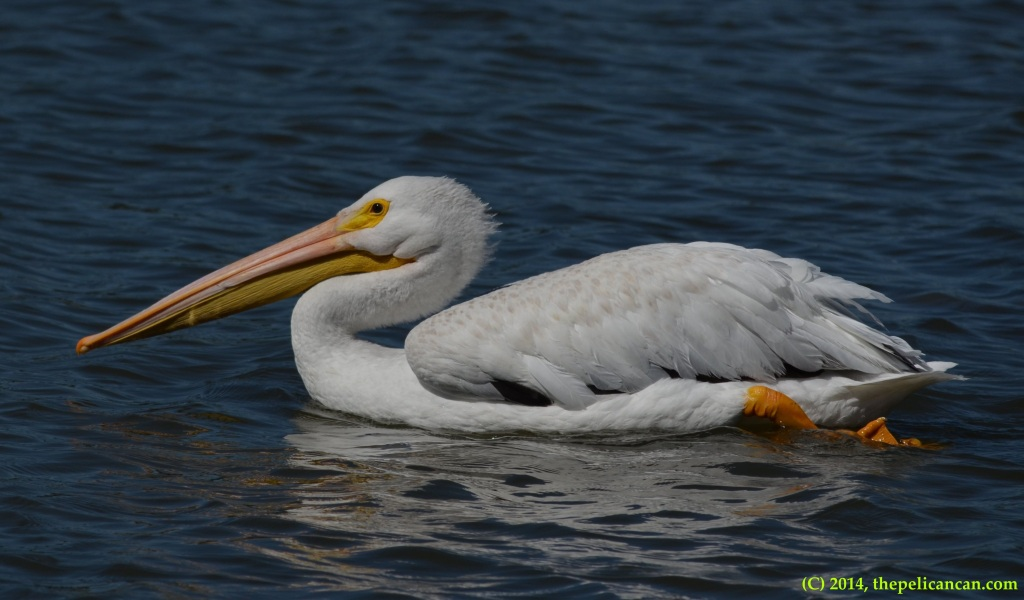 American white pelican (Pelecanus erythrorhynchos) swimming at White Rock Lake in Dallas, TX