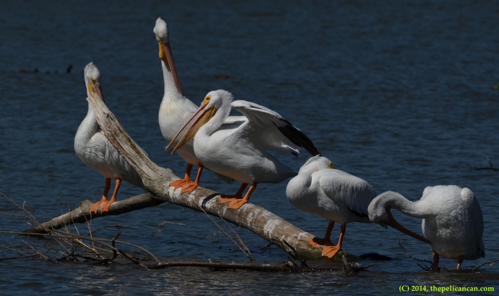 American white pelicans (Pelecanus erythrorhynchos) standing on a log at White Rock Lake in Dallas, TX