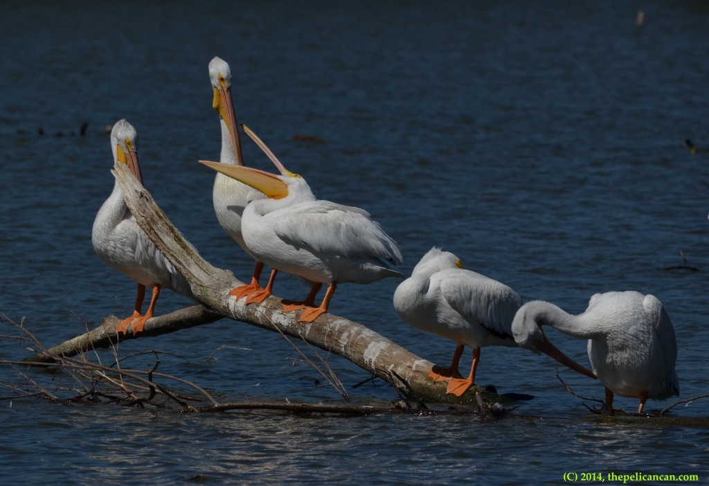American white pelicans (Pelecanus erythrorhynchos) fight while standing on a log at White Rock Lake in Dallas, TX