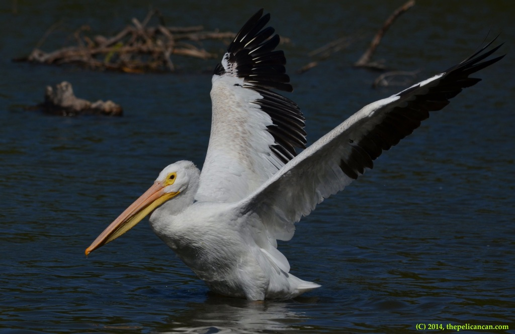 American white pelican (Pelecanus erythrorhynchos) flaps her wings at White Rock Lake in Dallas, TX