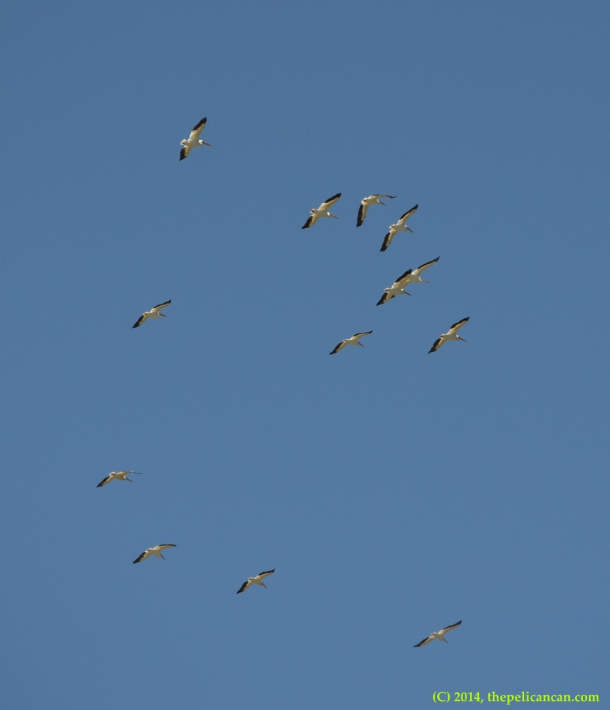 Flock of American white pelicans (Pelecanus erythrorhynchos) flying over White Rock Lake in Dallas, TX