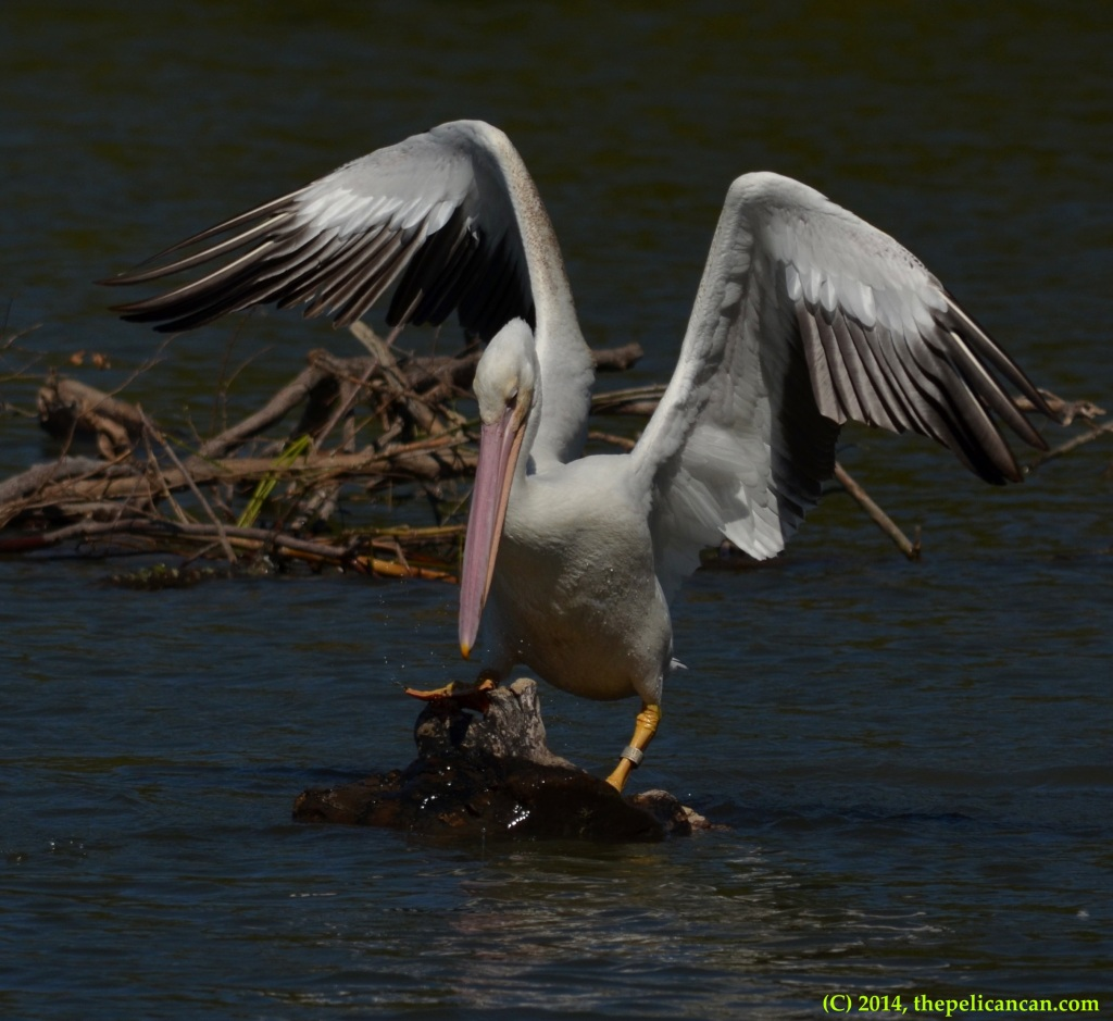 Juvenile American white pelican (Pelecanus erythrorhynchos) tries to keep her balance on a log at White Rock Lake in Dallas, TX