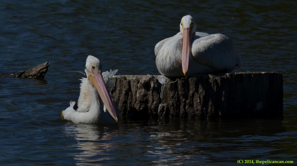 Two American white pelicans (Pelecanus erythrorhynchos) relax at White Rock Lake in Dallas, TX