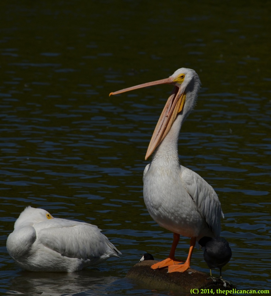 American white pelican (Pelecanus erythrorhynchos) and American coot (Fulica americana) stand together on a log at White Rock Lake in Dallas, TX